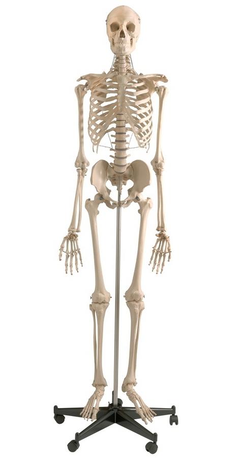 Homo Skelett Modell \